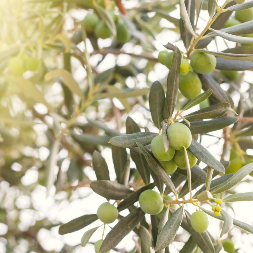 oliva-agroalpiva