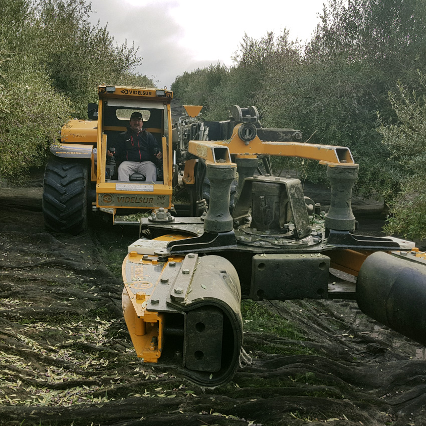 recoleccion-oliva