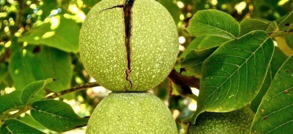 slider-nuez-agroalpiva