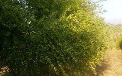 02-oliva