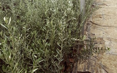 plantacion-olivo-2