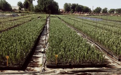 plantacion-olivo-3